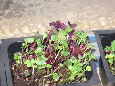 Microgreens!  So easy and such an easy and fun way to get more vitamins.  You can go here to read a little about it and go here to order a kit.  We just plant some veggies seeds like broccoli and radish, wait a few days until they look like this, then snip them off onto our salads, soups, or whatever.  They are very tasty and super nutritious!  (another thing from my mom)